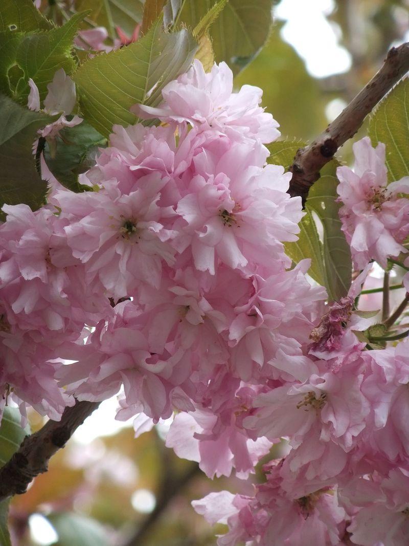 May Blossom 005