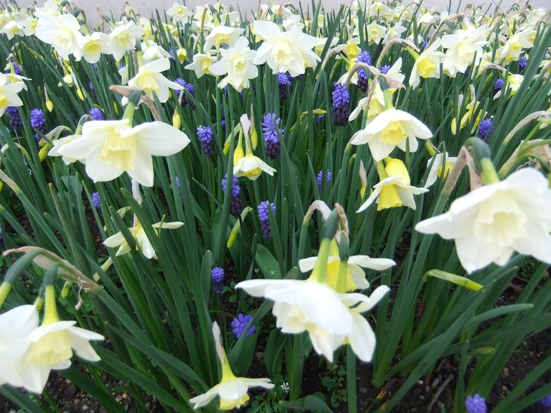 May flowers 2014 016